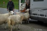 Moutons-2