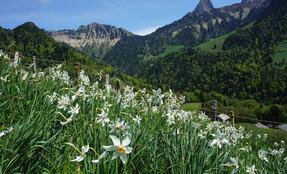 Floraison des narcisses - Hauteurs de Montreux
