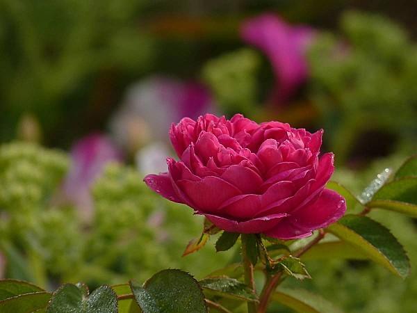 Rose de Rescht 08