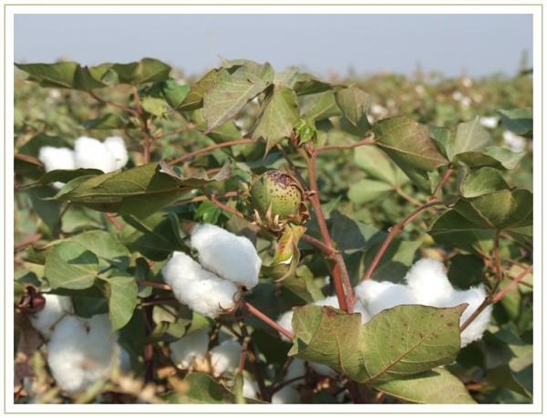 boules de coton et fruit non éclos