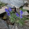 Aconit napel (Aconitum napellus) Couloir sous la Hourquette de Bachebirou
