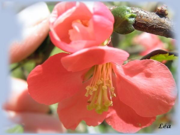 P6130212 fleur de cognassier