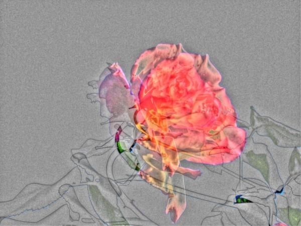 rosegrise
