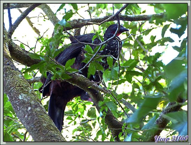 Blog de images-du-pays-des-ours : Images du Pays des Ours (et d'ailleurs ...), Pénélope panachée (Penelope purpurascens) - Rincon de la Vieja - Costa -Rica