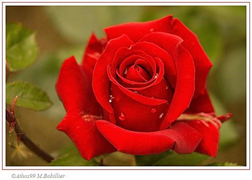 rose-copie-1.jpg