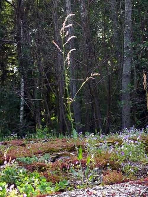 Vertus médicinales des plantes sauvages : Oseille