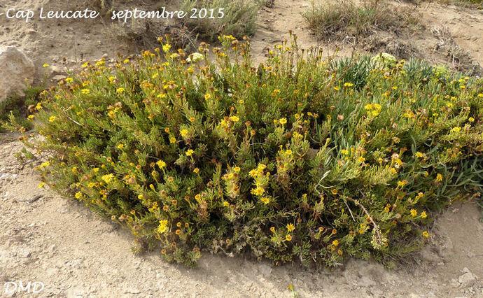 Limbarda crithmoides = Inula crithmoides  -  inule de Méditerranée