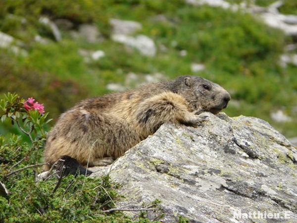 """""""Marmottes parc de le Vanoise"""""""