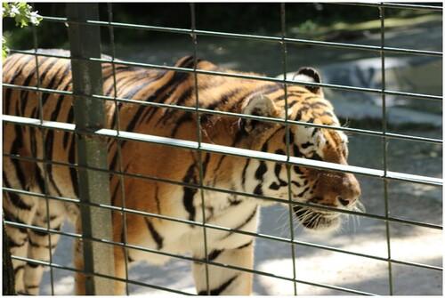 Les tigres