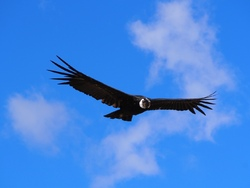 Et le condor!