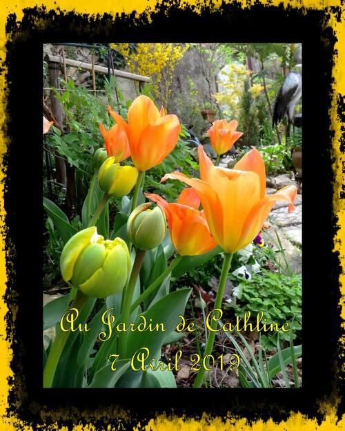 Tulipes doubles tardives