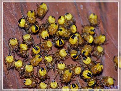 Des bébés araignées Epeires (vraisemblablement diadème, Araneus diadematus) viennent de naître - Lartigau - Milhas - 31