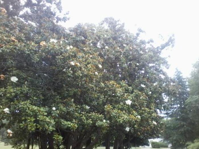 la magnolia Grandiflora