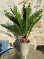 cycas revoluta - plant 3