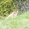 Marmotte 09