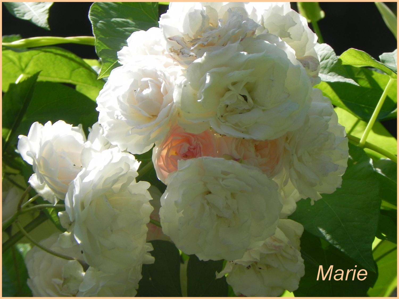 Faire Un Rosier Avec Une Rose bouturage des rosiers - au nom de la rose