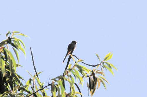 Colibri anaïs (Sparkling violetear)