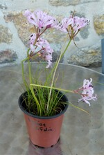 nérine filifolia