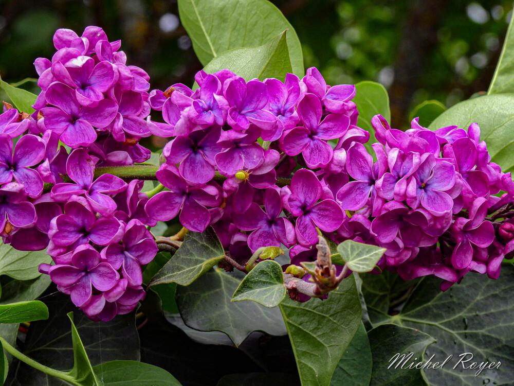 A l'affût dans les lilas