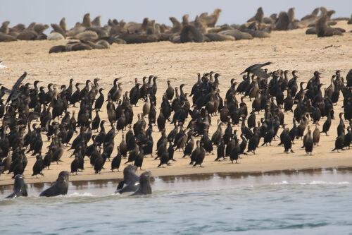 Cormoran du Cap (Cape Cormorant)
