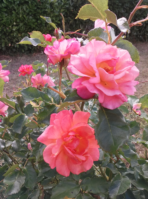La danse des belles du jardin