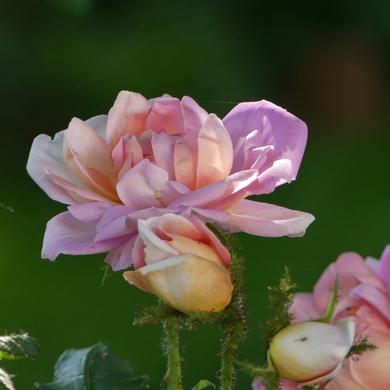 Des Journées de la Rose aux journées de mes roses : 'Robert-Léopold'...