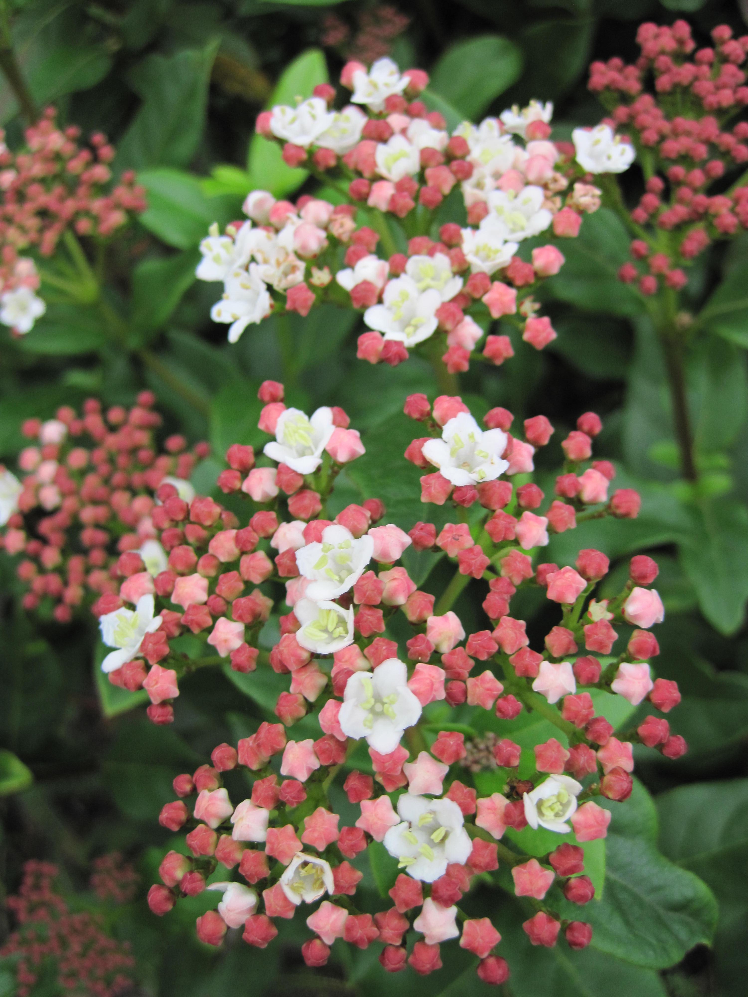 Taille Du Laurier Tin laurier-tin gwenllian ( viburnum tinus ) - sable émouvant