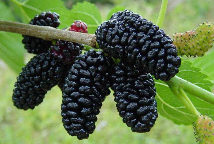 Чем полезен при сахарном диабете корень тутовника