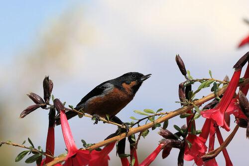 Percefleur à gorge noire (Black-throated Flowerpiercer)