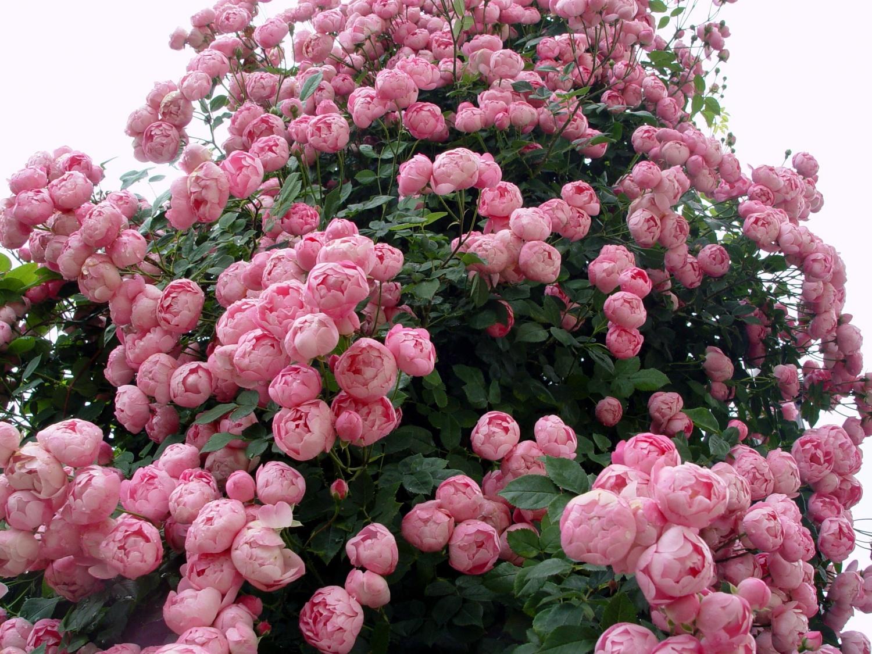 Faire Un Rosier Avec Une Rose roses rares - au nom de la rose