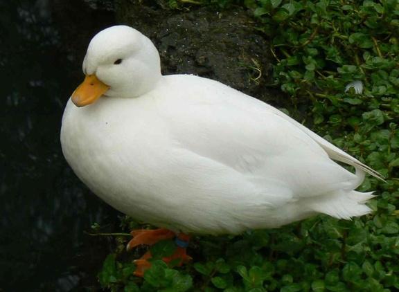 """Résultat de recherche d'images pour """"canard mignon"""""""