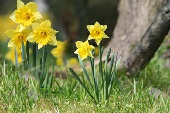 """Résultat de recherche d'images pour """"le printemps et jonquille"""""""