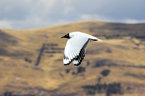 Mouette des Andes (Andean Gull)