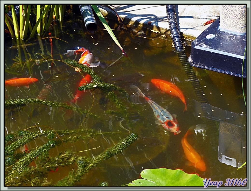 Bassin A Poisson Rouge des poissons de mon bassin - lartigau - milhas - 31 - images