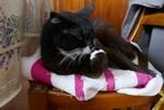 Pododermatite plasmocytaire du chat