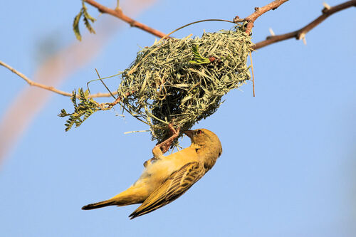Tisserin à tête rousse (Southern Masked Weaver)