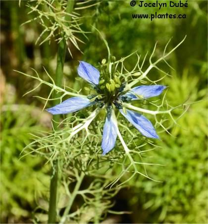 Photo de fleur de Cumin noir - Nigella sativa