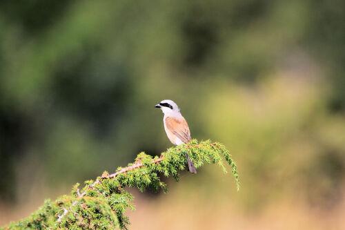 Pie-grièche écorcheur (Red-backed Shrike)