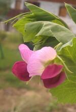 Fleurs de pois mangetout