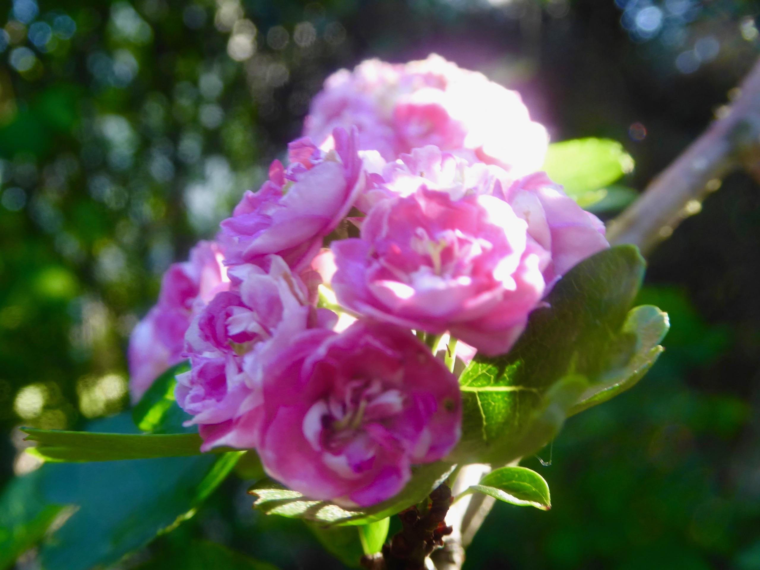 Toujours des fleurs du jardin! - sylvietoutcourt