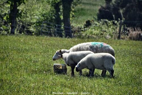 Les moutons de Killorglin - Irlande