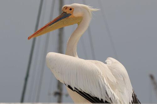 Pélican blanc (Great White Pelican)