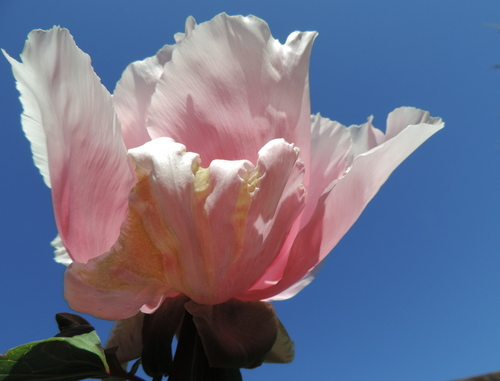 Pivoine et Rhodo : vie en rose....