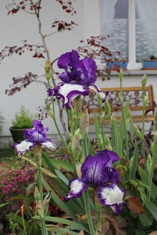Iris 'Stepping out' bleu et blanc