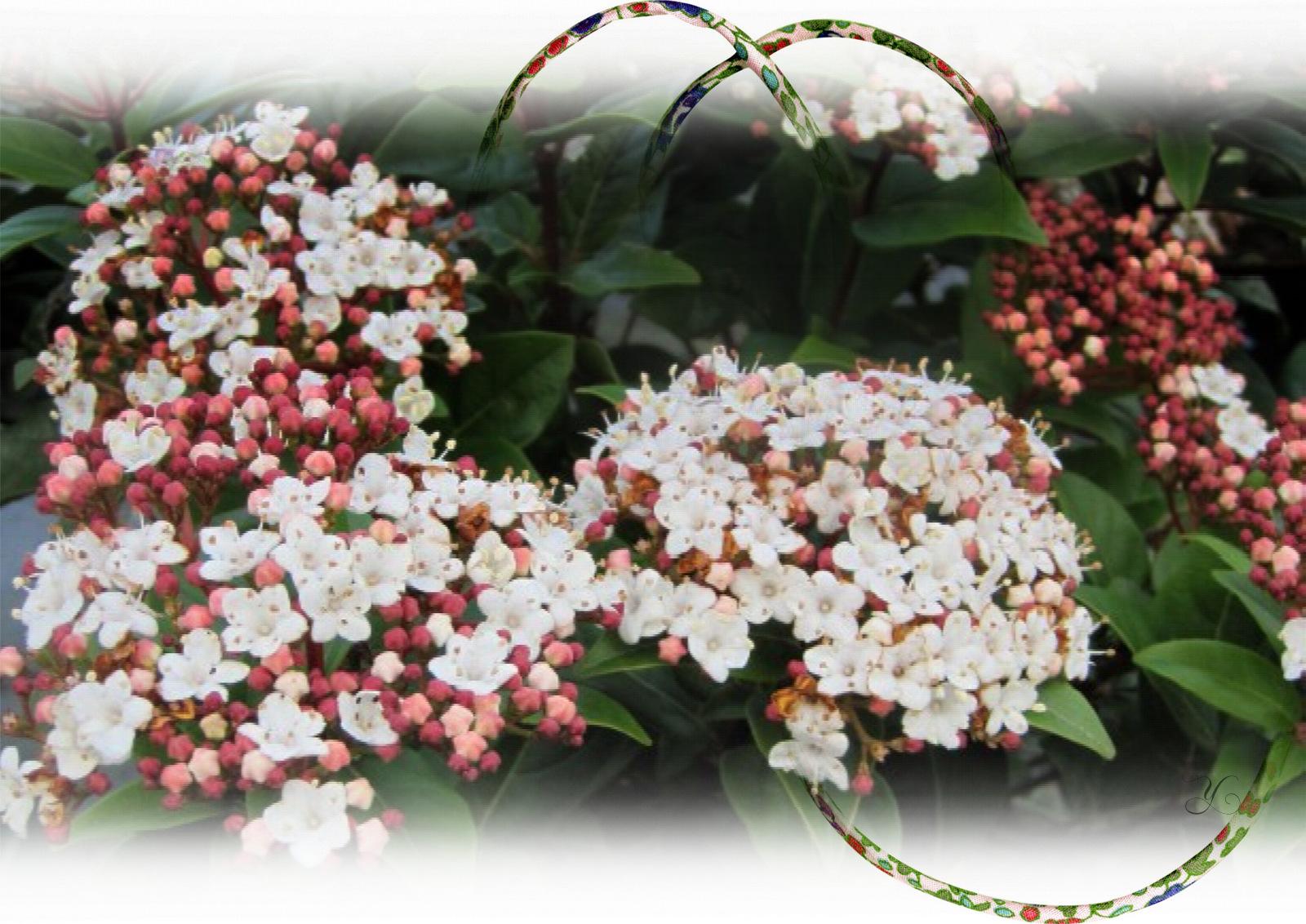 Taille Du Laurier Tin viburnum tinus 'spirit' - .