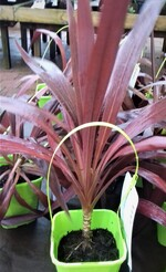 cordyline super star