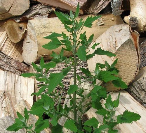 Les plantes sauvages dans la marmite