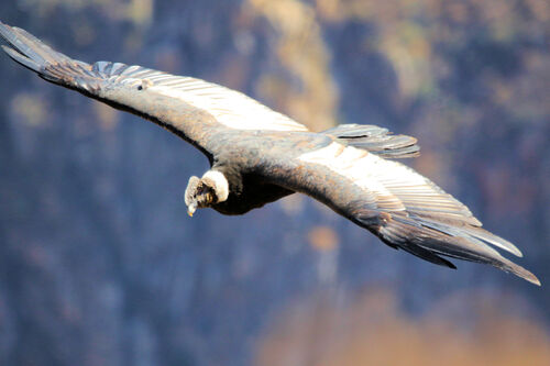 Condor des Andes (Andean Condor)