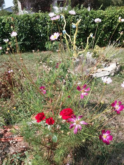 Roses du jardin, roses de mon amoureux