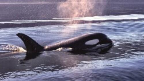 Luna, l'Orque qui aimait les hommes ~ - ♥ Mon Cœur De Baleine ♥